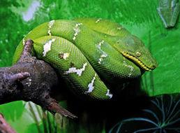 Image of Emerald tree-boa