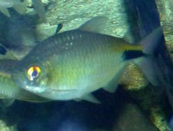 Image of African Long-finned Tetra