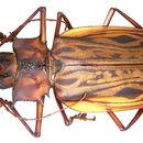 Image of <i>Macrodontia cercicornis</i>