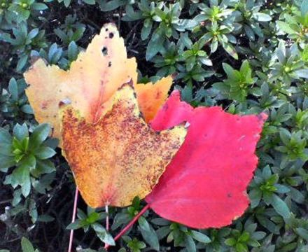 Image of <i>Acer pycnanthum</i> C. Koch