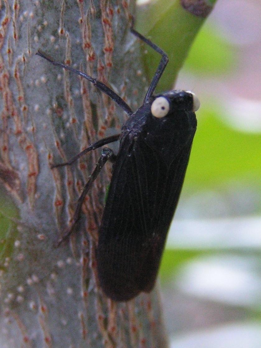 Image of <i>Desudaba psittacus</i> Walker 1858