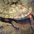 Image of Chinese Three-striped Box Turtle