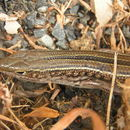 Image of Ctenotus