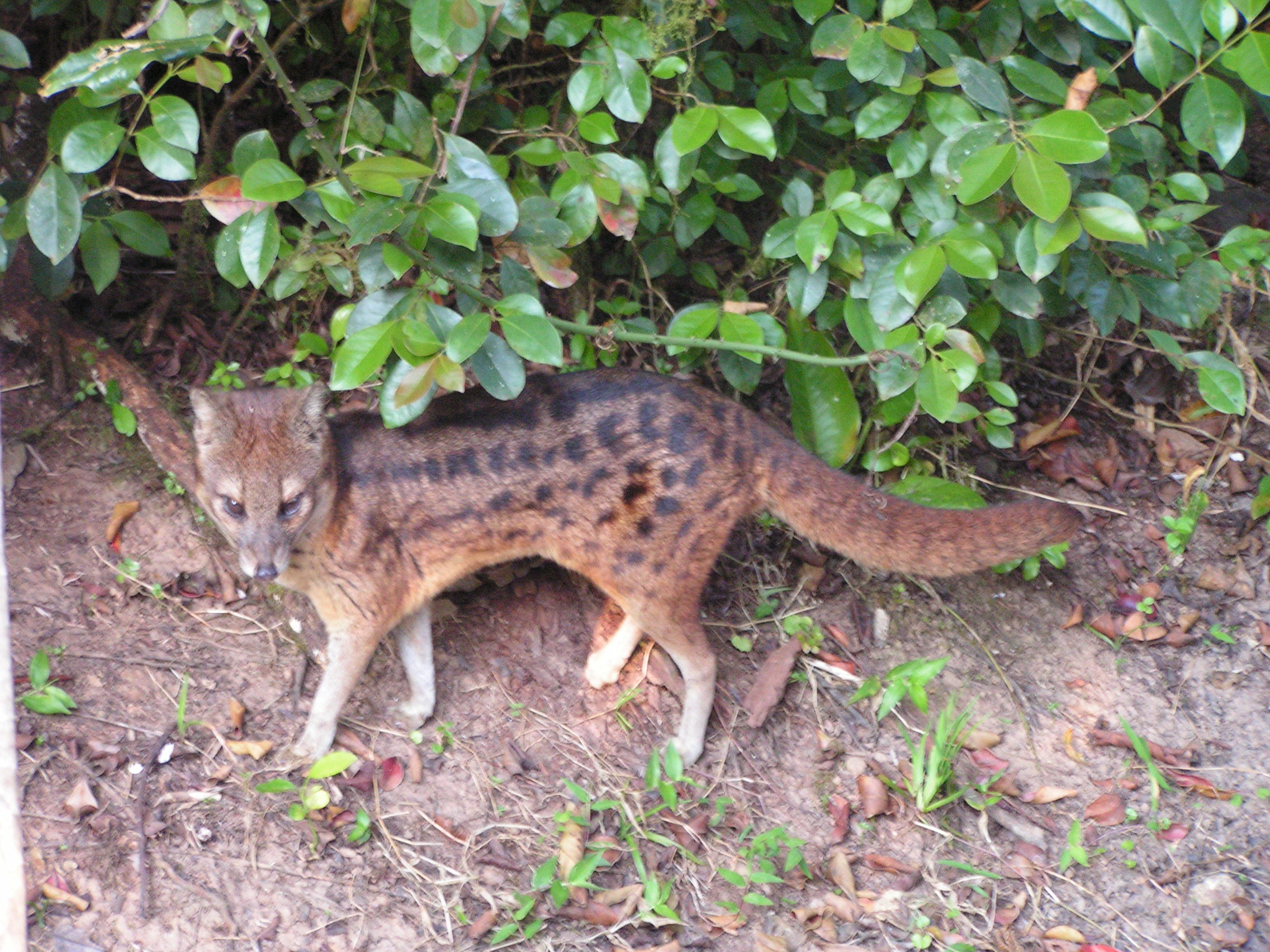 Image of Malagasy civet