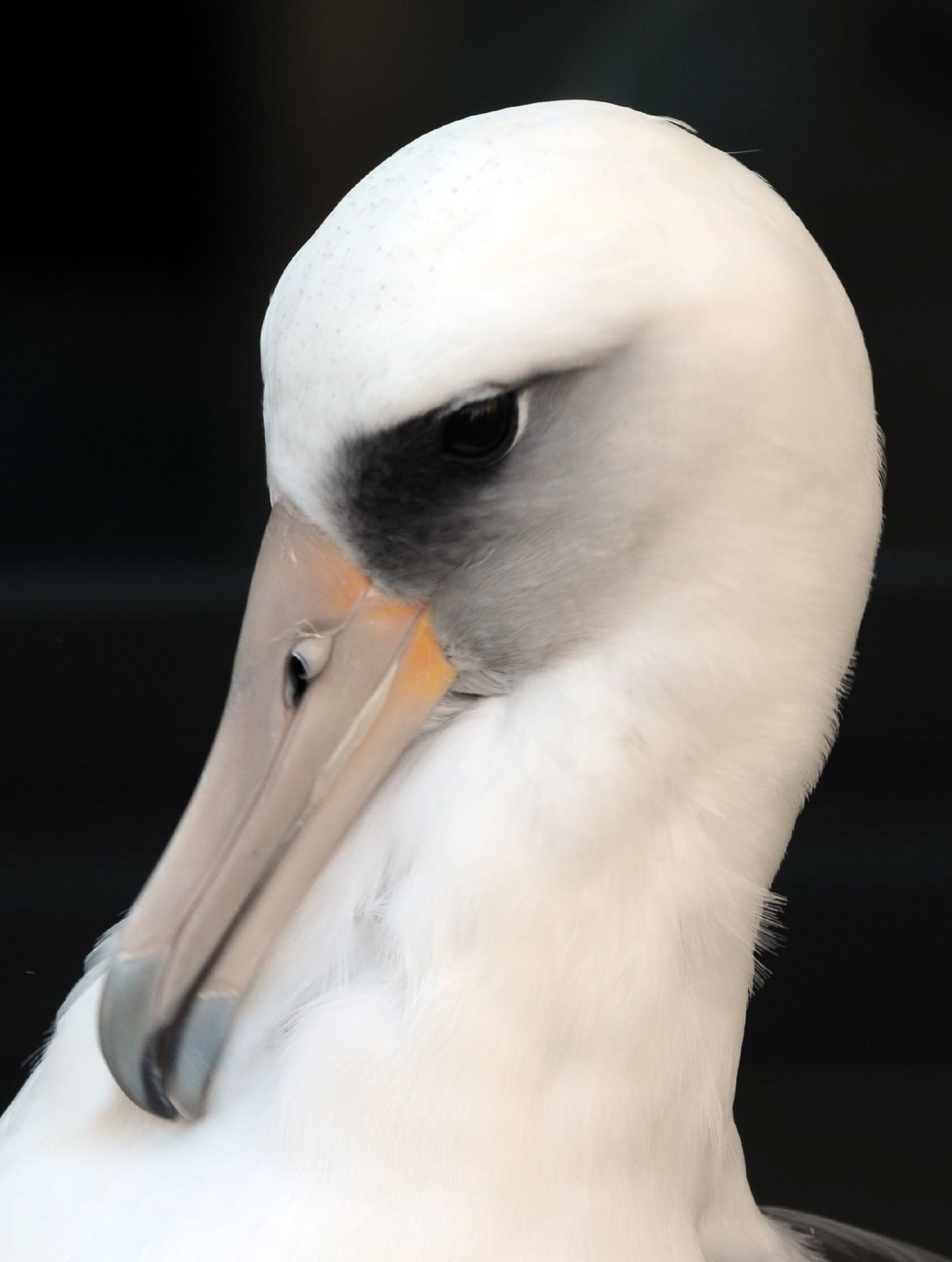 Image of Laysan Albatross
