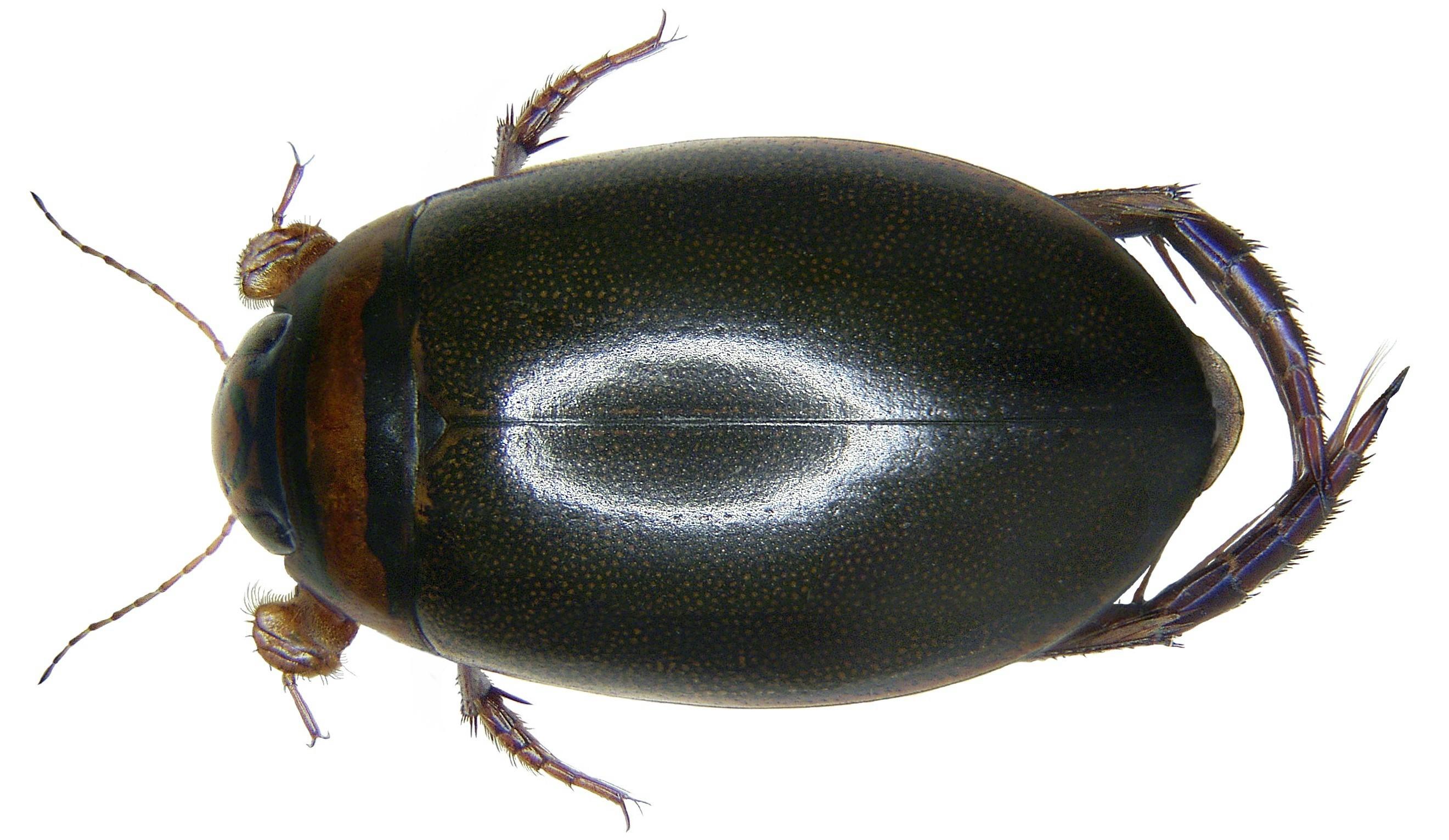Image of <i>Graphoderus cinereus</i> (Linnaeus 1758)
