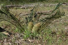 Image of <i>Macrozamia riedlei</i> (Gaudich.) C. A. Gardner