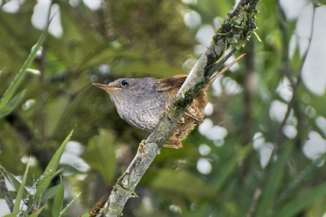 Image of Spotted Bamboowren