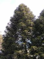 Image of Bunya