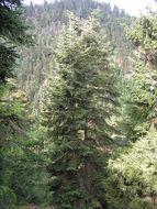 Image of Caucasian Spruce