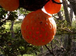 Image of Darwin's Fungus