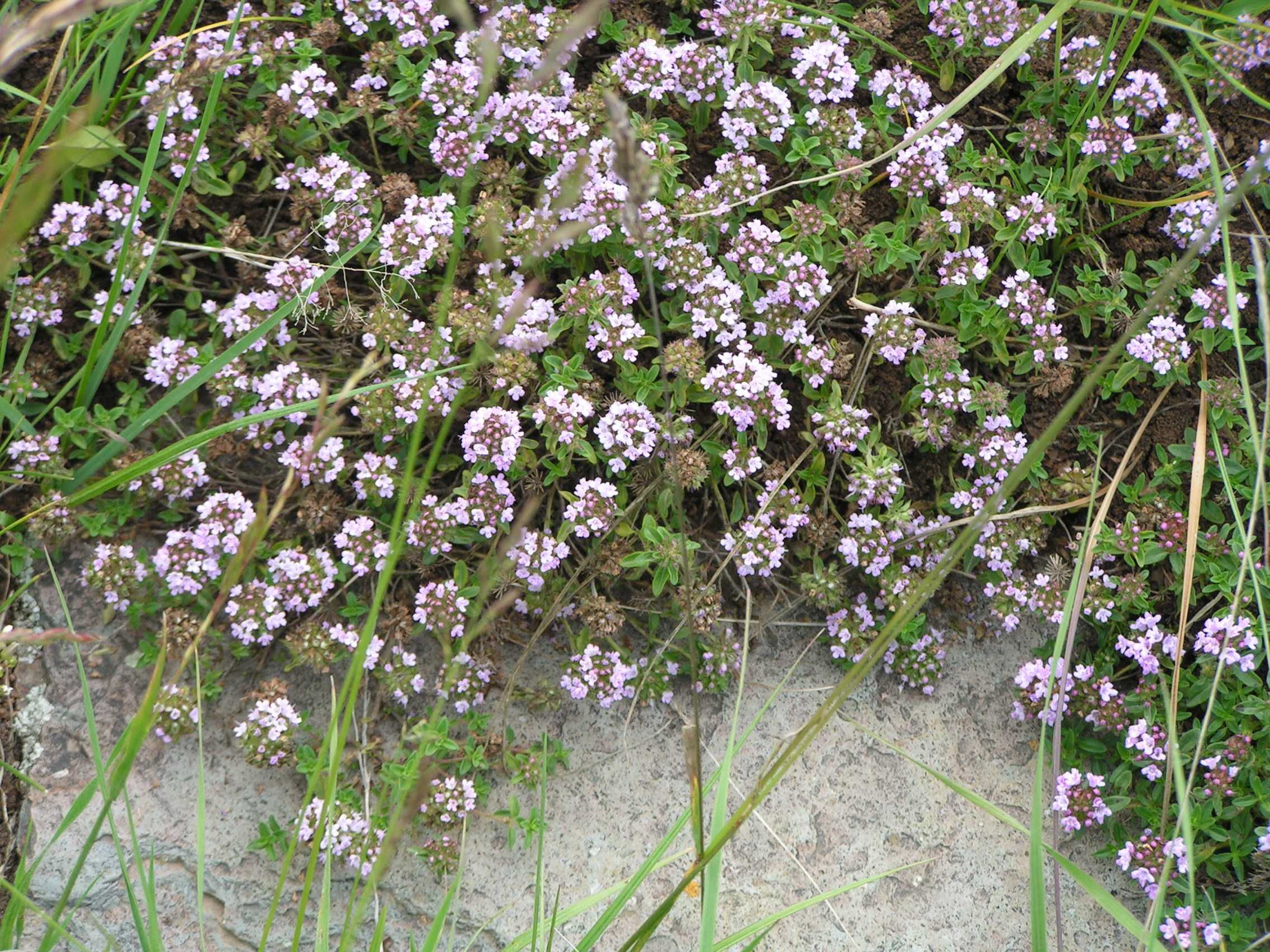 Image of <i>Thymus collina</i>