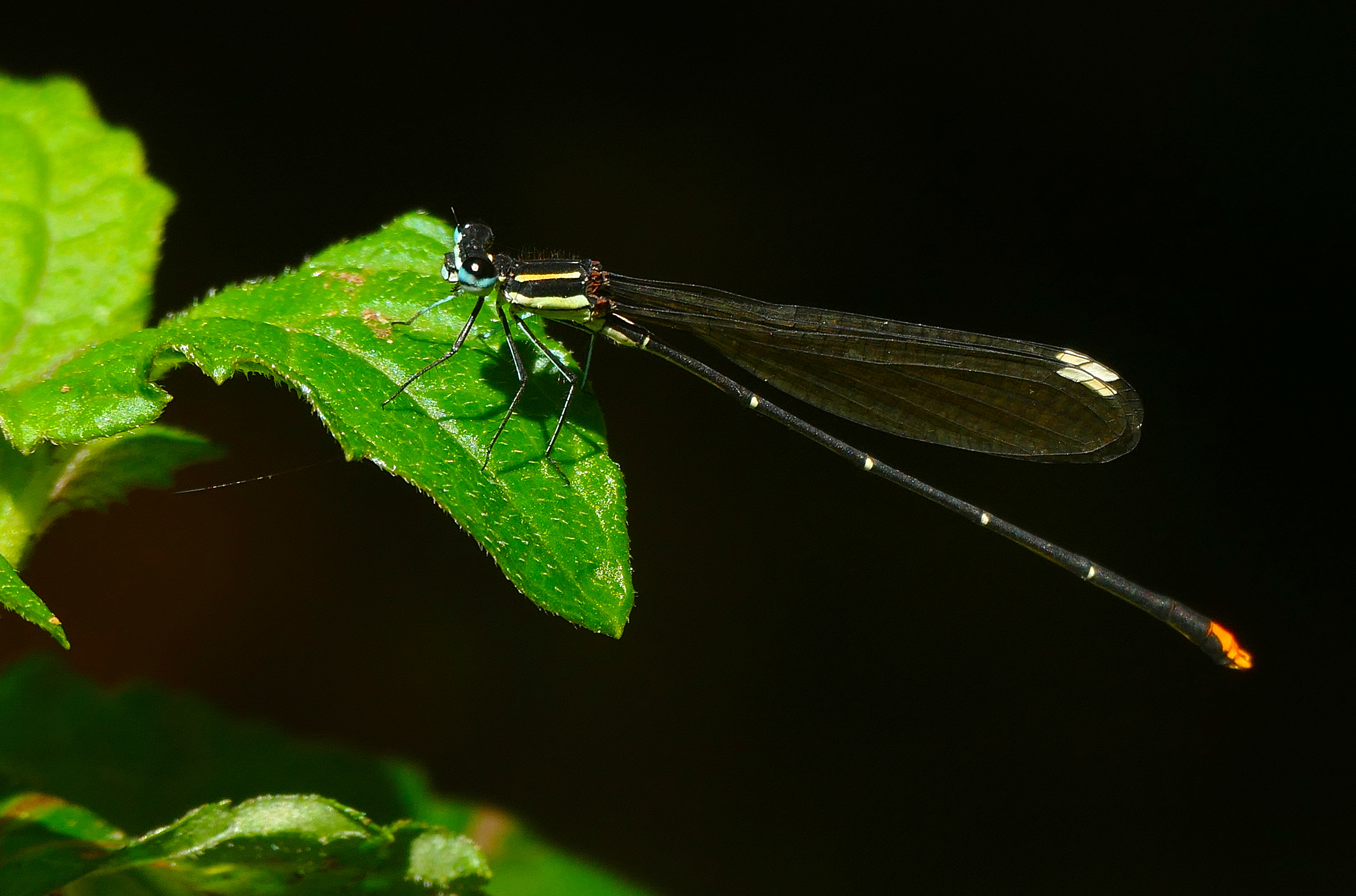 Image of Goldtail