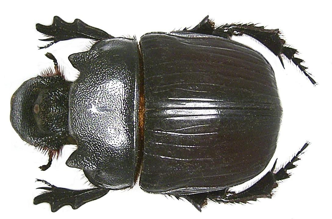 Image of <i>Heliocopris colossus</i> Bates 1868