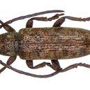 Image of <i>Apomecyna cochinchinensis</i> Breuning 1982