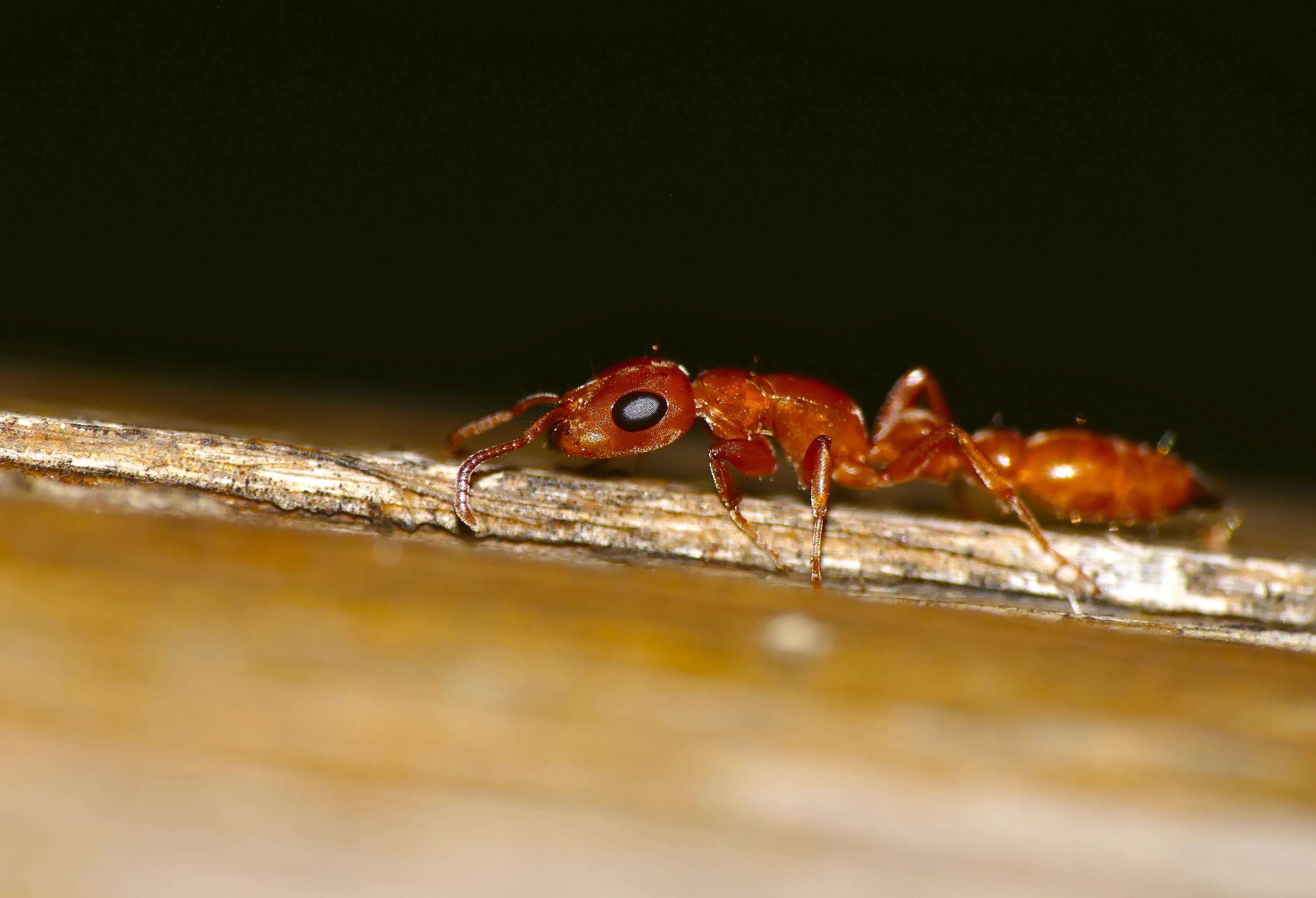 Image of <i>Tetraponera natalensis</i> (Smith 1858)
