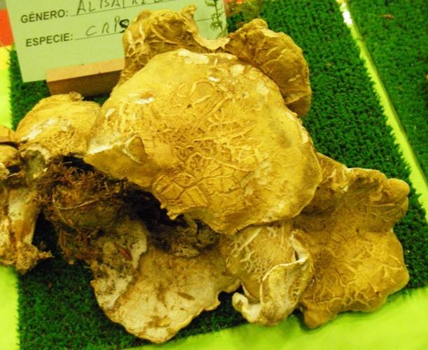 Image of <i>Albatrellus cristatus</i>