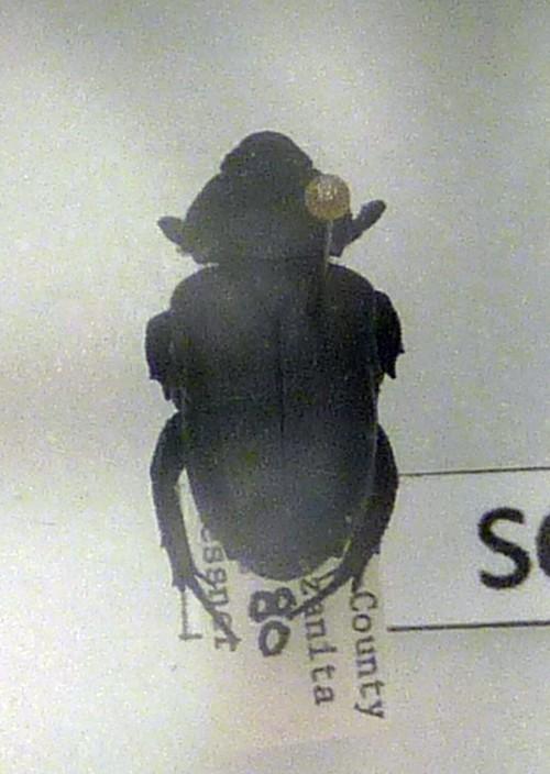 Image of <i>Cremastocheilus schaumii</i>