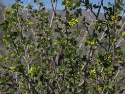 Image of <i>Ribes <i>aureum</i></i> aureum