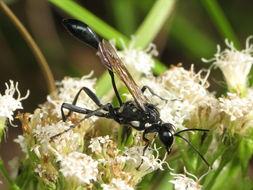 Image of <i>Eremnophila aureonotata</i> (Cameron 1888)