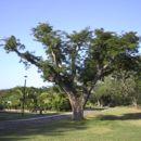 Image of <i>Harvardia palens</i>