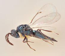Image of <i>Tetrastichus paululus</i> Graham 1991