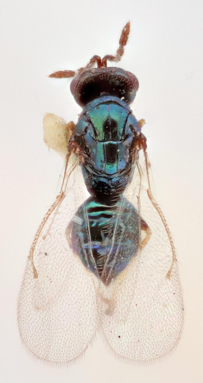 Image of <i>Tetrastichus coelarchus</i> Graham 1991