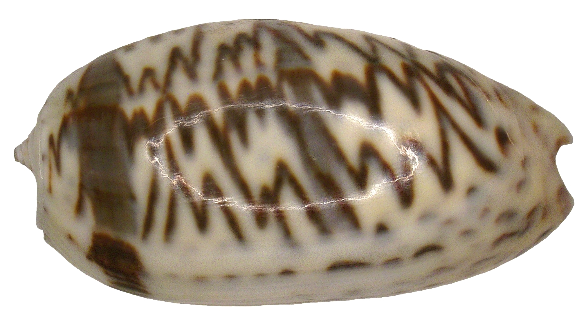 Image of inflated olive