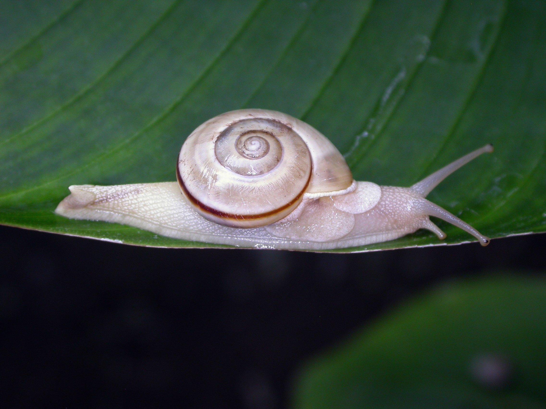 Image of <i>Naninia wallacei</i>