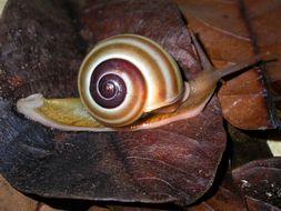 Image of <i>Naninia banggaiensis</i>