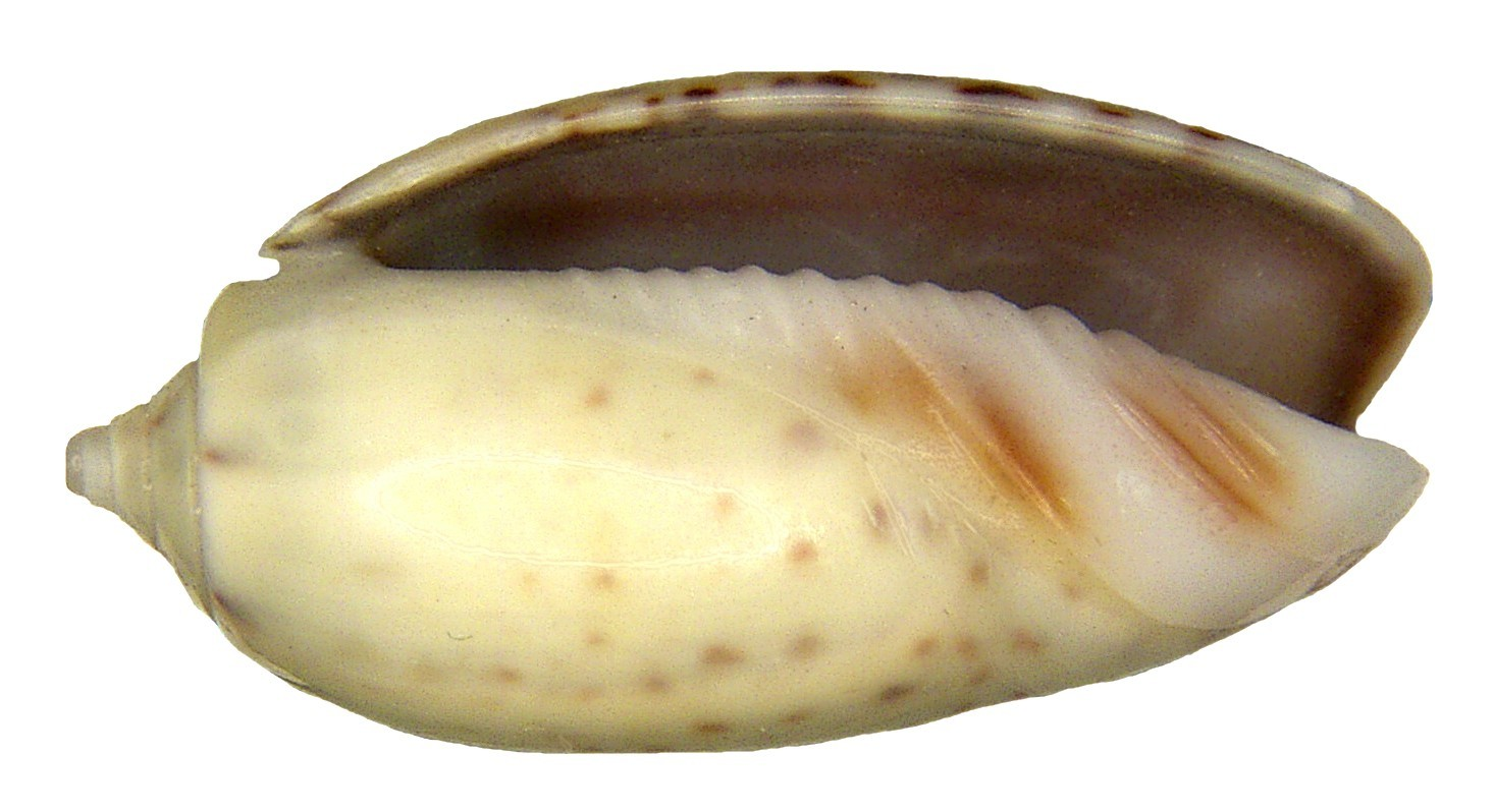 Image of <i>Oliva caerulea</i> (Röding 1798)