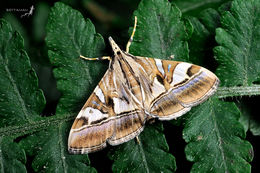 Image of <i>Glyphodes itysalis</i>