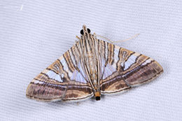 Image of <i>Glyphodes stolalis</i> Guenée 1854