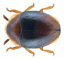 Image of <i>Corylophus cassidioides</i>
