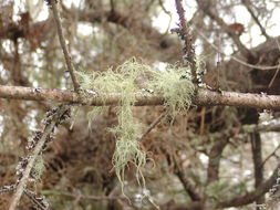 Image of Lapland beard lichen