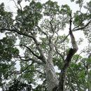 Image of Honduras mahogany