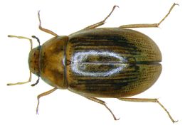 Image of <i><i>Helochares</i></i> (Helochares) <i>lividus</i> (Forster & J. R. 1771)