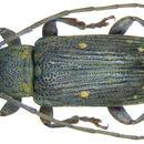 Image of <i>Ropica decempunctata</i>