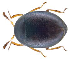 Image of <i>Orthoperus nigrescens</i> Stephens 1829