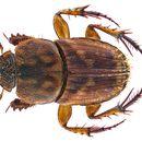 Image of <i>Tiniocellus spinipes</i> (Roth 1851)