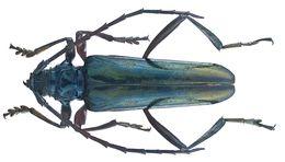 Image of <i>Mecosaspis laeta</i> (Hope 1843)