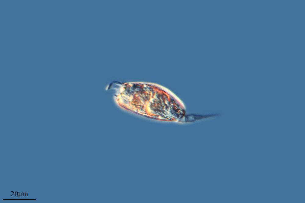 Image of <i>Colurella obtusa</i> (Gosse 1886)