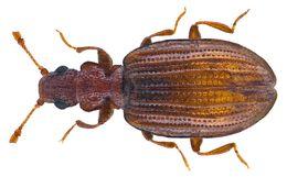 Image of Plaster Beetle