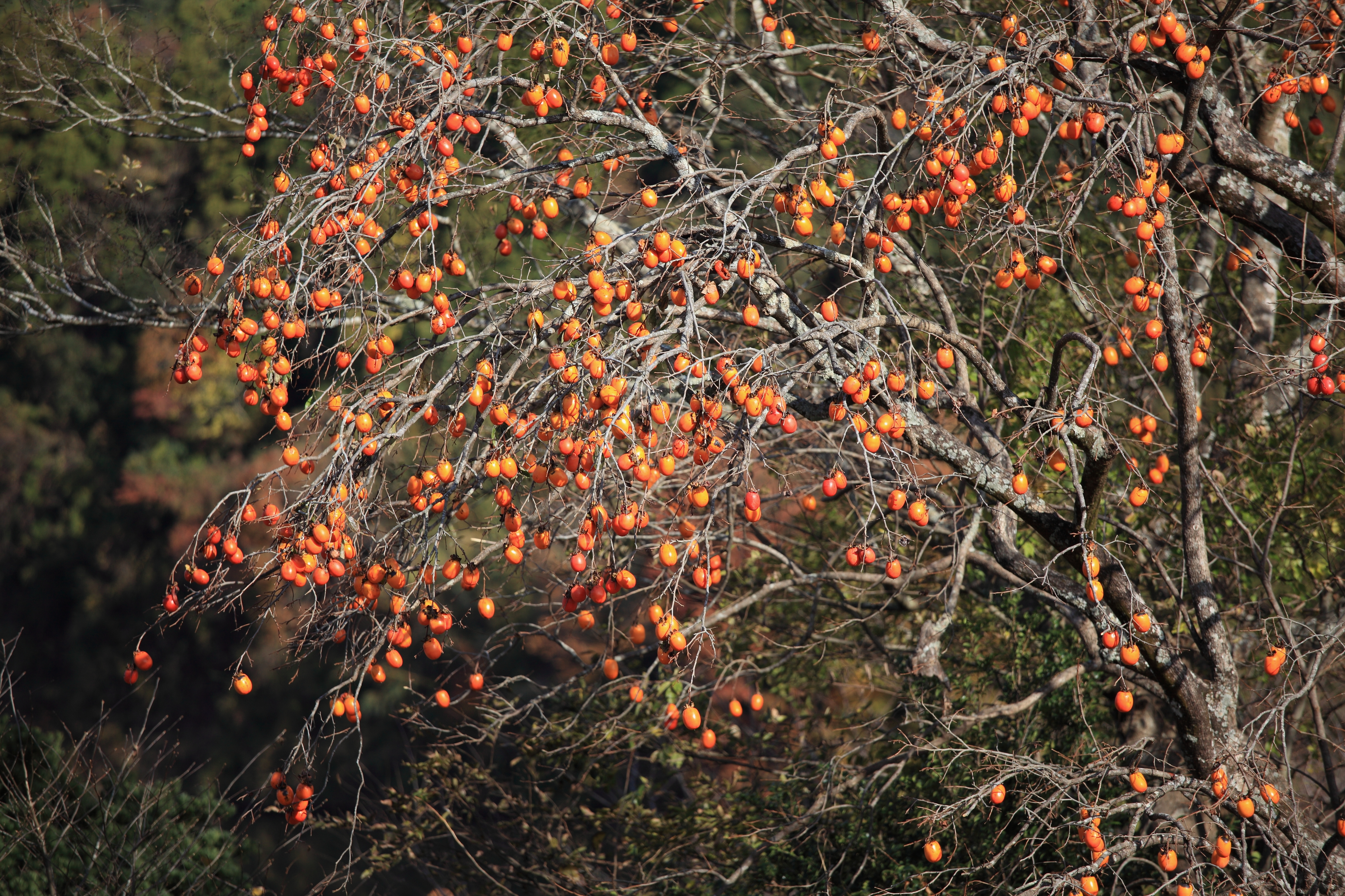 Image of japanese persimmon