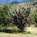 Image of Key tree cactus