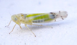 Image of Leafhopper