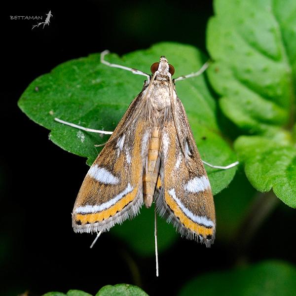 Image of <i>Strepsinoma hapilistalis</i>