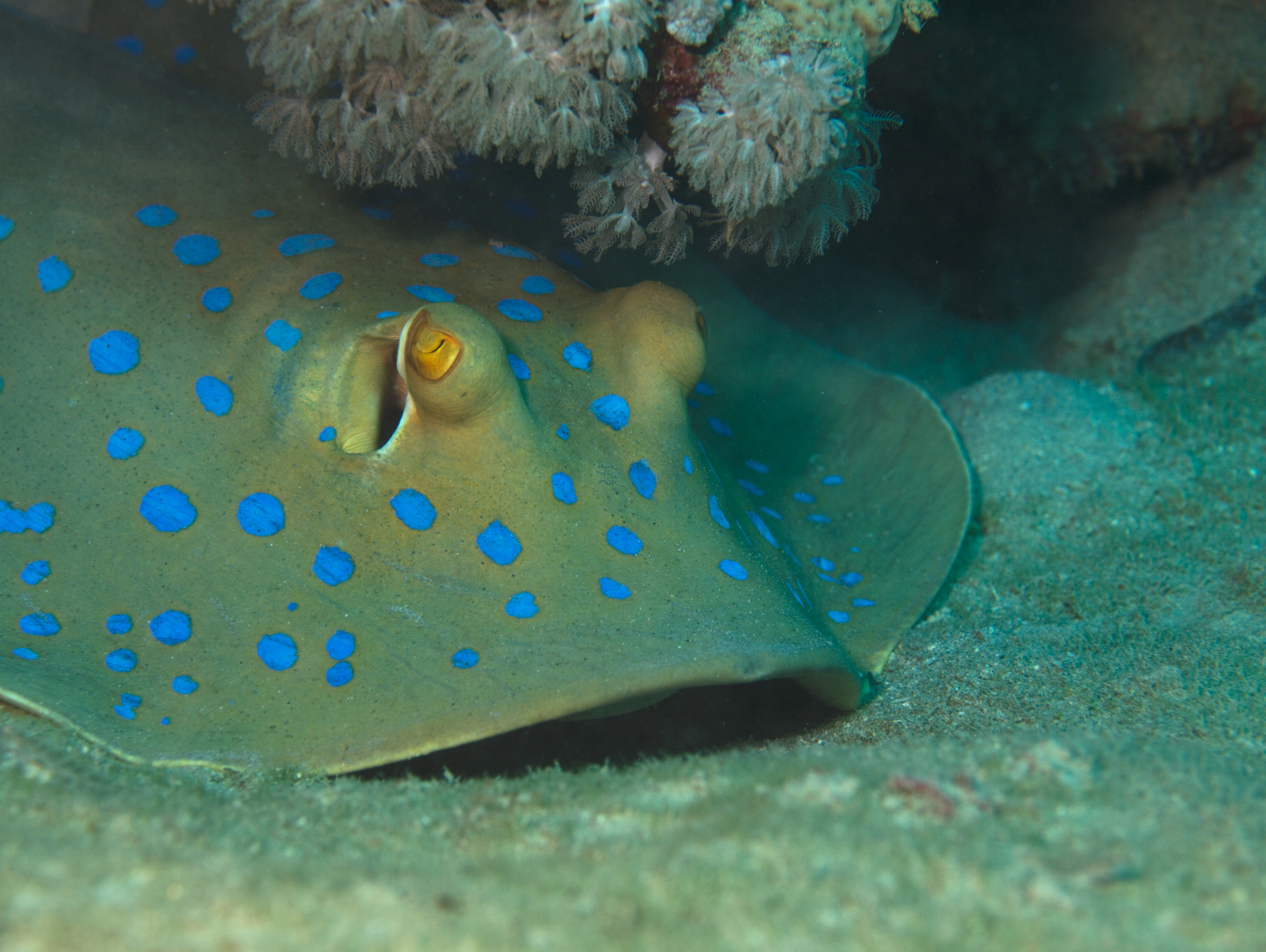 Image of Blue-spotted Stingray