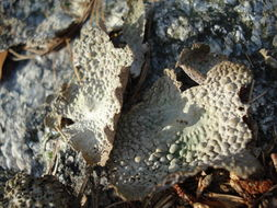 Image of Common toadskin lichen