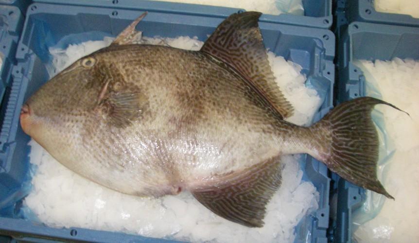 Image of Filefish